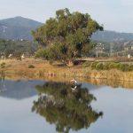 Egret in flight over Oak relection CLOSE